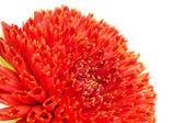 Macro del brote de flor roja georgina — Foto de Stock
