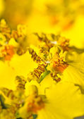 Close-up of Oncidium orchid flower — Stock Photo