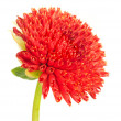 Stock Photo: Beautiful red dahliflower bud