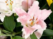 Lily flower z parku keukenhof — Stock fotografie