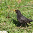 Foto Stock: Blackbird