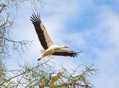 Flying stork — Stock Photo