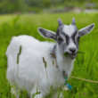 Little baby goat — Stock Photo