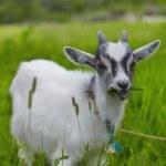 Little baby goat — Stock Photo