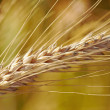 Grain ear — Stock Photo