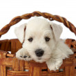Puppy in a basket — Stock Photo