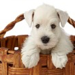 White puppy - Stock Photo
