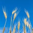 Golden wheat — Stock Photo #3435525