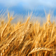 Golden wheat — Stock Photo #3435591