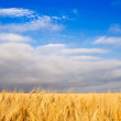 Golden wheat — Stock Photo #3435608