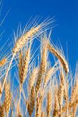 Золотая пшеница — Стоковое фото