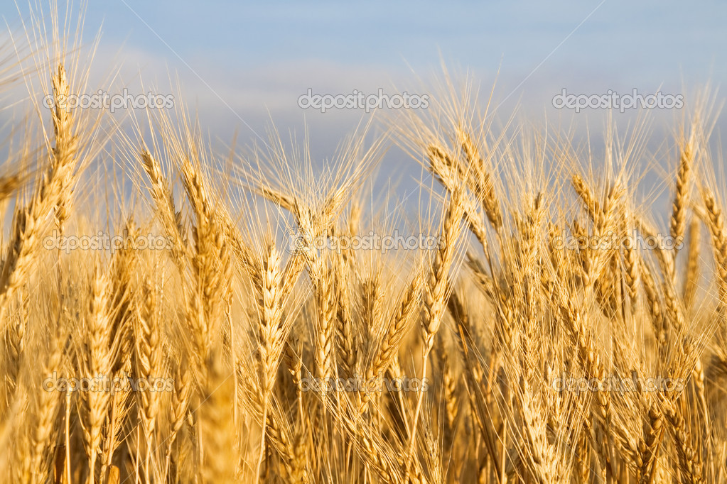 Golden wheat field close-up — Stock Photo #3437210