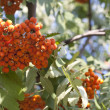 Sorbus - Stock Photo