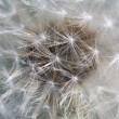 Fluffy dandelion — Stock Photo #3080441