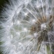 Fluffy dandelion - Stock Photo