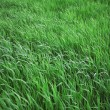 Green leaves of a grass - Foto Stock