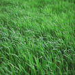 Green leaves of a grass - Stock Photo
