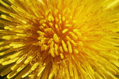 Blossoming dandelion — Stock Photo