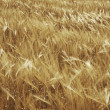 Ripe wheat — Stock Photo #3167312