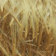 Ripe wheat — Stock Photo #3167319