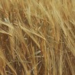 Ripe wheat — Stock Photo #3167329