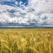 Wheaten field — Stock Photo #3167354