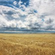 Field of yellow wheat - Stock Photo