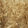 Ripe wheat — Stock Photo #3444164