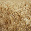 Ripe wheat - Stock Photo