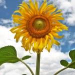 Beautiful sunflower — Stock Photo