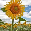 Beautiful sunflower — Stock Photo