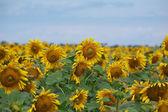 Beautiful sunflowers — Stock Photo