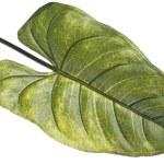 Vibrant Green Tropical Leaf — Stock Photo #2781155
