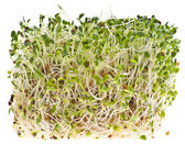 Eating Healthy Alfalfa Sprouts — Stok fotoğraf
