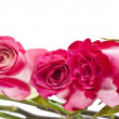 Beautiful Pink Rose Border Image with Copy Space - Zdjcie stockowe