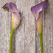 Purple Calla Lily — Stock Photo