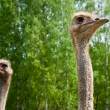 Portrait of ostriches on the nature — Stock Photo #3130725