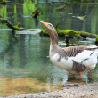 Goose on the nature — Stock Photo