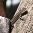 Lizard on wood — Stock Photo