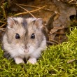 Little dwarf hamster — Stock Photo