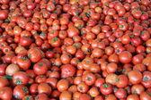 Tomato harvest time — Stock Photo