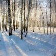 Sunrise in birches forest - Stock Photo
