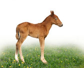 A newborn foal in profile — Stock Photo