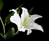A white lily on the black background — Stock Photo