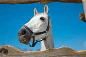 The head of light grey horse — Stock Photo
