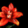 Red lily flower, Lilium, isolated on black — Stock Photo