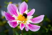 大黄蜂在花上 — 图库照片