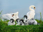 Mute swan. Parents and Kids — Stock Photo