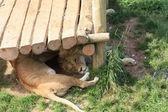 Lvi v zoo — Stock fotografie