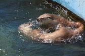 выдра в воде — Стоковое фото